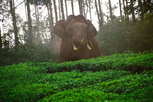 6922_Wild-elephant-in-a-Tea-Plantation-above-Munnar